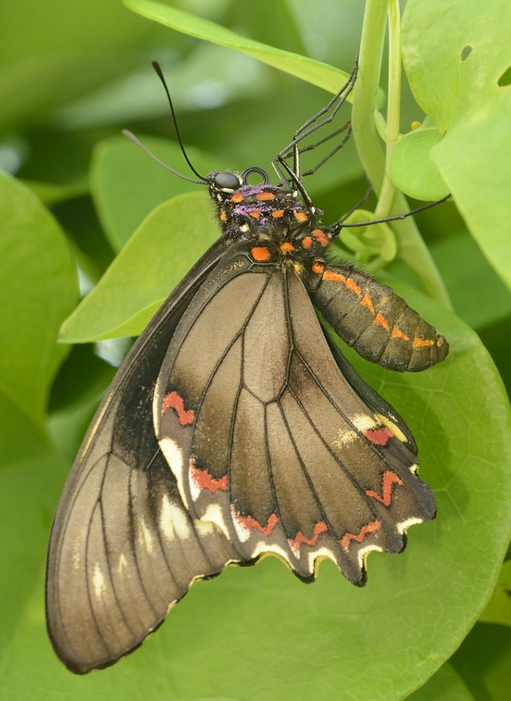 A Polydamas or gold-rim swallowtail that has just emerged from its chrysalis.