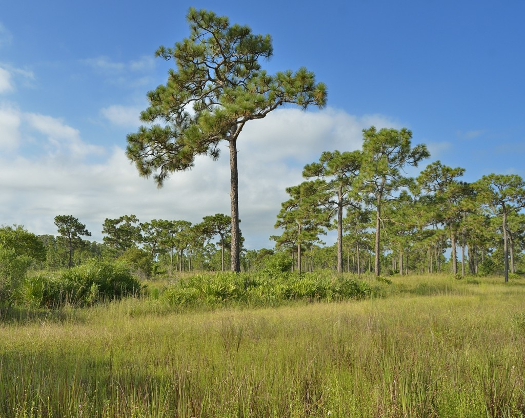 Open mesic flatwoods.  Three Lakes Wildlife Management Area