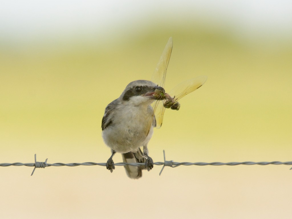 Young loggerhead shrike with prey
