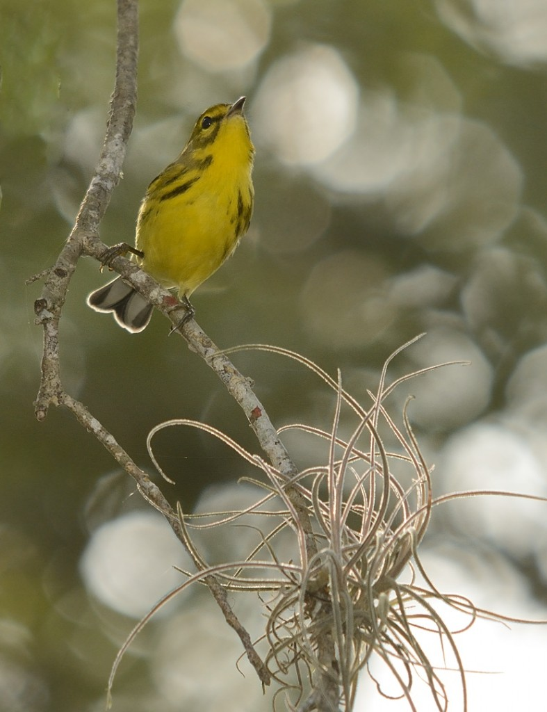 Prairie warbler in the hammock.  Three Lakes Wildlife Management Area