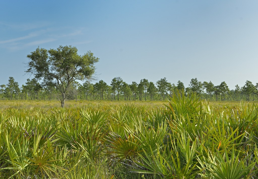 Palmetto prairie.  Three Lakes Wildlife Management Area.
