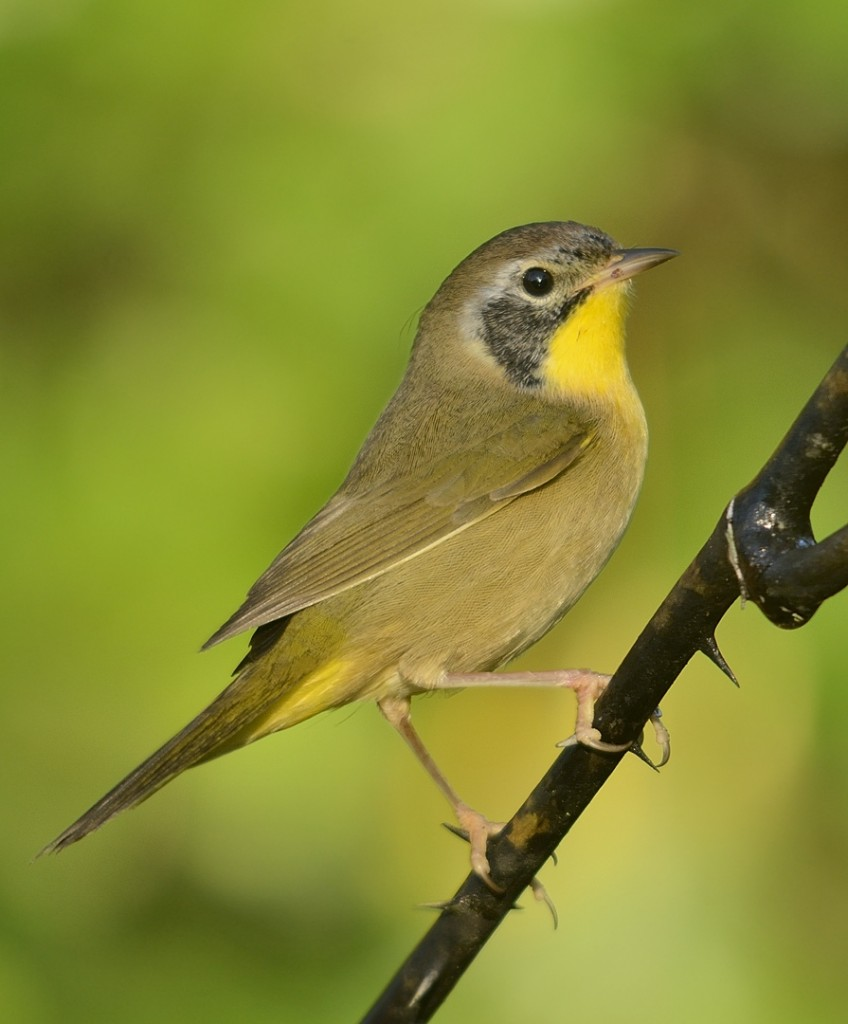 Common yellowthroat male.  This is most likely a first-winter bird based on the somewhat poorly defined mask.