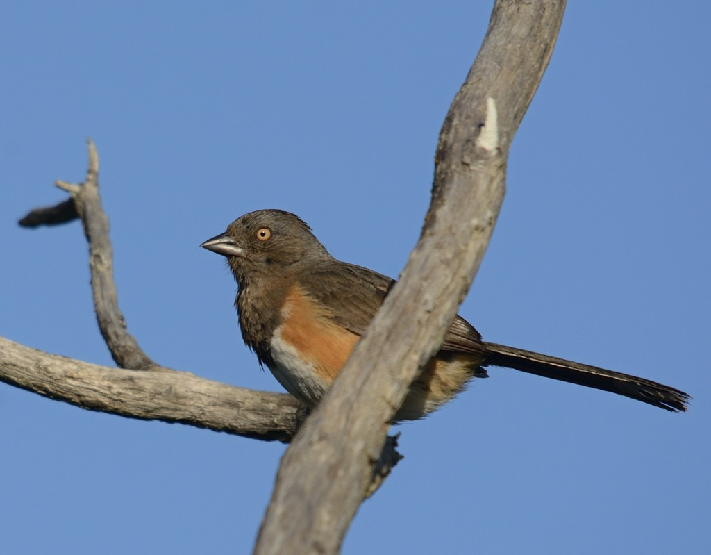 Eastern towhee, female.  A resident breeder of the scrub.