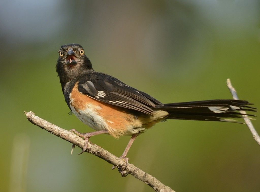 Male eastern towhee, still looking sub-prime from his post-nuptial molt.