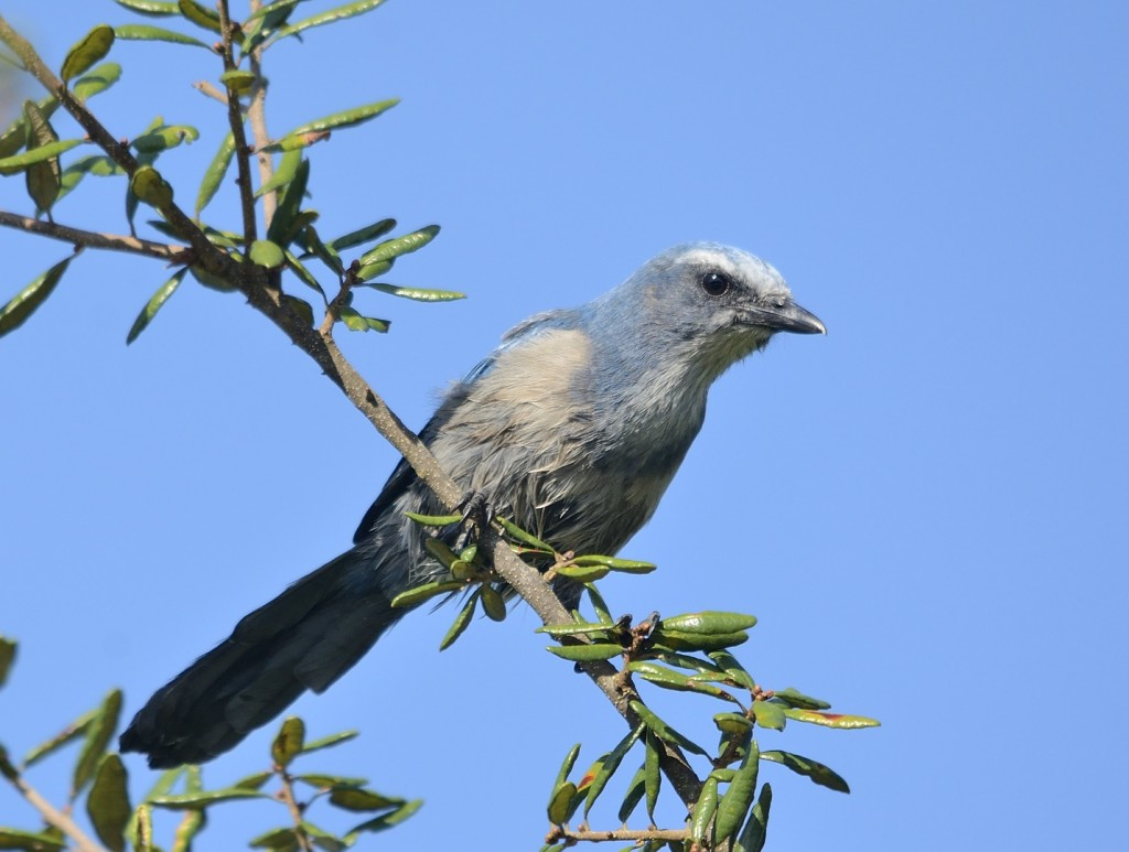 Florida scrub jay family groups are fairly common along FR05.