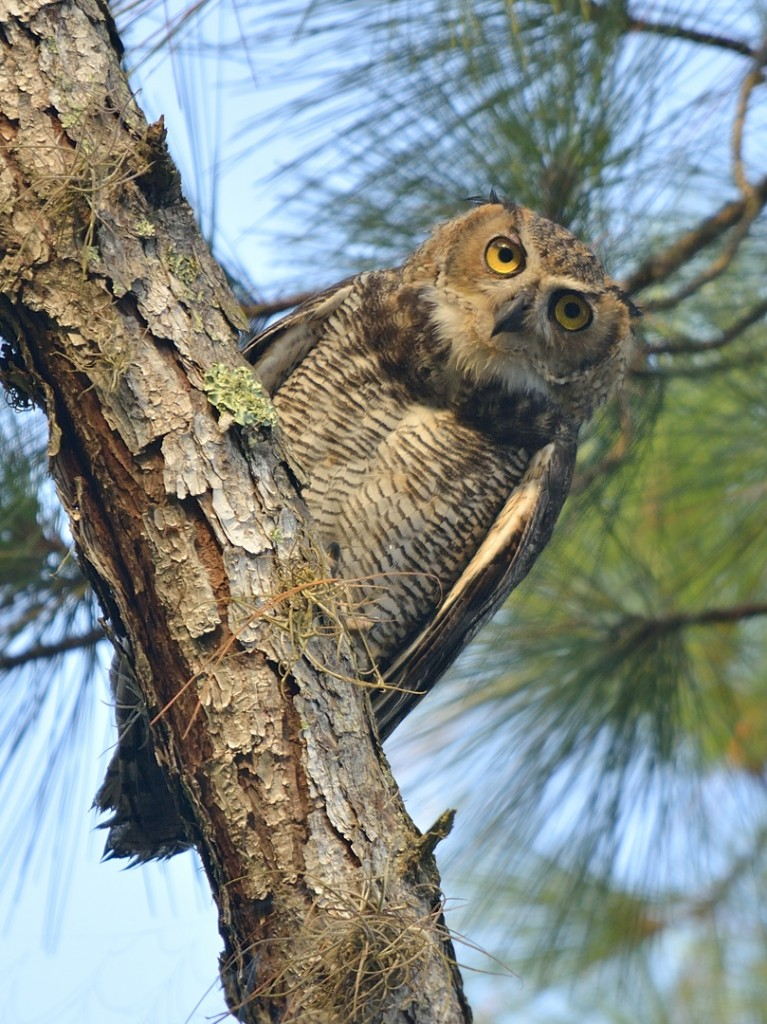 Great horned owl youngster, from earlier this year at Lake George Conservation Area