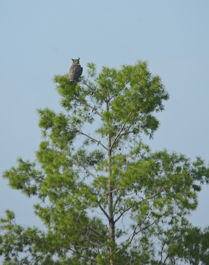 Great horned owl, hunting at mid-morning.