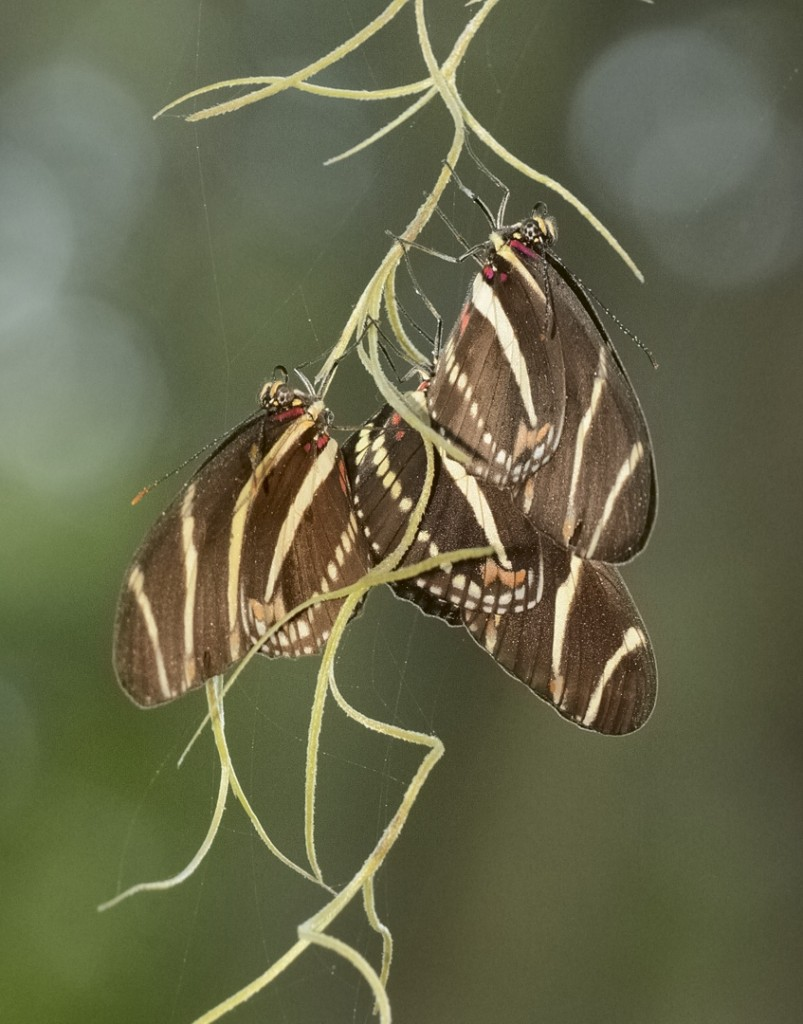 Communal roosting cluster of zebra longwings, Heliconius charithonia