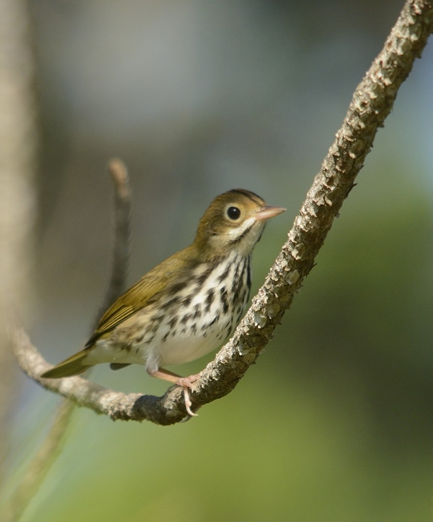 Ovenbird, author of the chewk call.