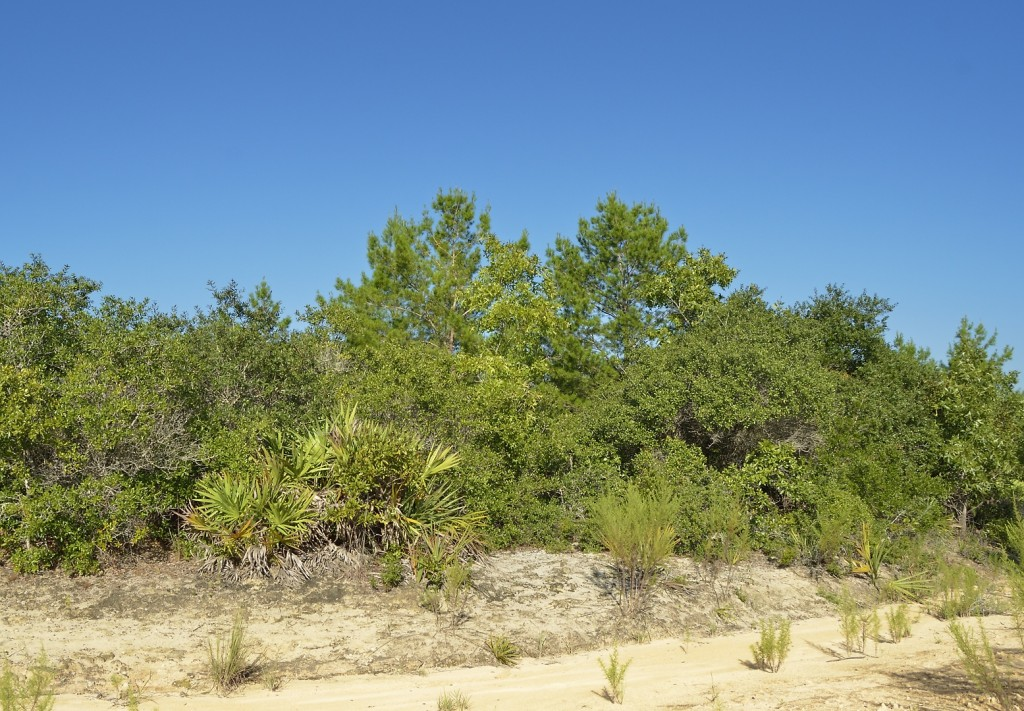 It may not look all that appealing, but this scrubby oak stage of scrub regeneration can be absolutely teeming with passerine birds at some times of year.