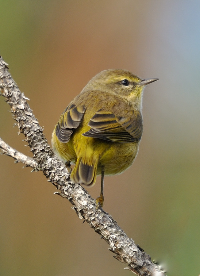 Palm warbler, the third wave of warbler migration.