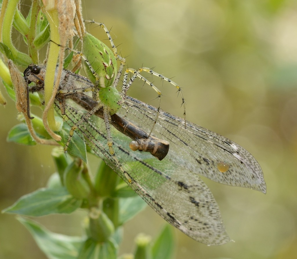 Green lynx spider (Peucetia viridens) with antlion prey
