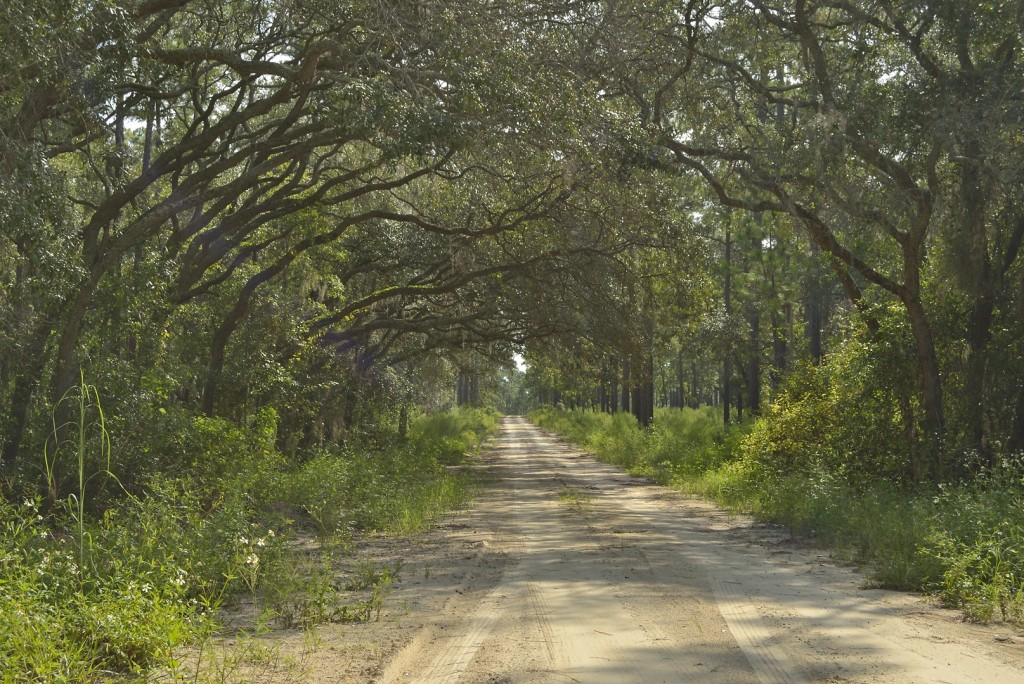 Forest Road 70 where it passes through an isolated live oak hammock amidst the sandhills