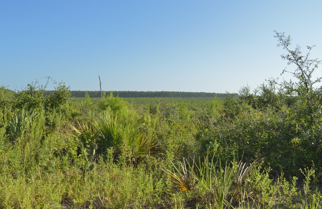 A several hundred acre tract of clearcut sand pines