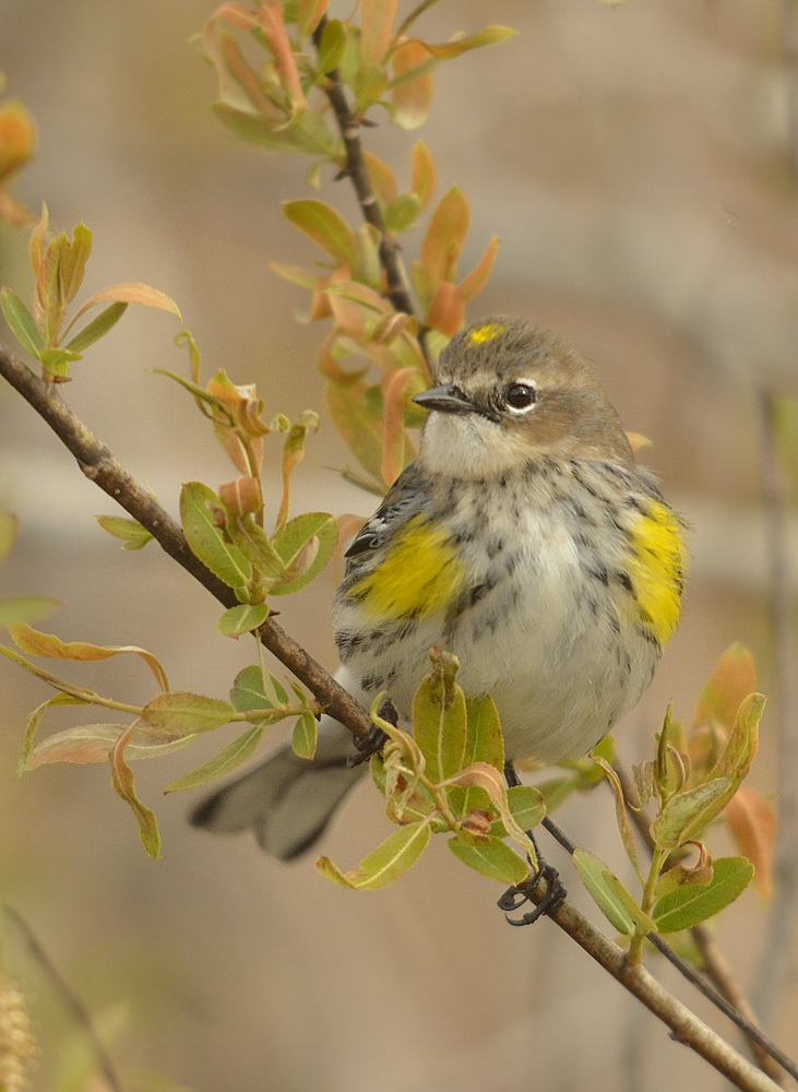 Yellow-rumped warbler, the fourth and final of the warbler waves.