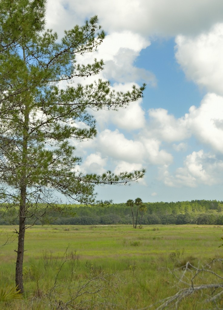 Zay Prairie, a lovely temporary wetland on FR05.  I can't think of many places where you see sand pine and sabal palms in contiguous habitats.