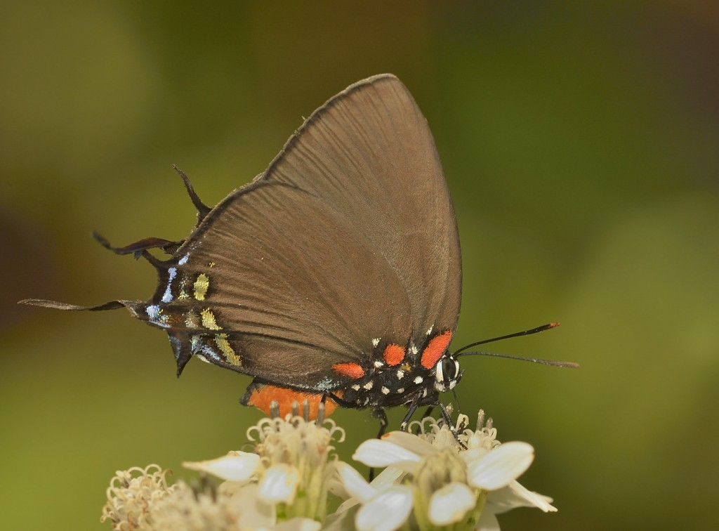 Great purple hairstreak at Sericocarpus