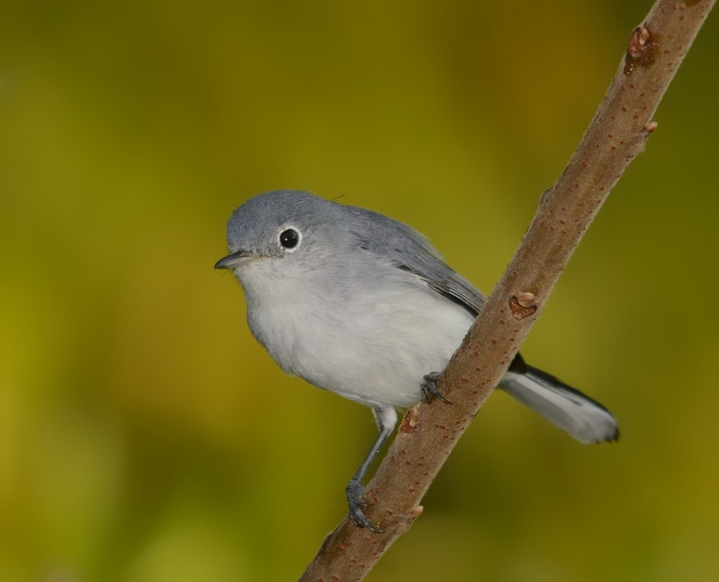 Blue-gray gnatcatchers are among the most enthusiastic mobbers. Little dudes have no fear. I had one fly into my car once while looking for a predator.