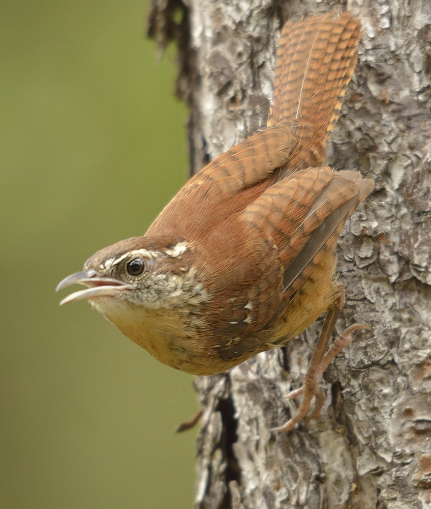 "Carolina wren, Thyothorus ludovicianus, a close relative of the Plain-tailed Wren studied in teh PLOS One paper. Carolina wrens are strong responders to mobbing and territorial playback; they are one of the ""ringleader species"" in many mobbing flocks."