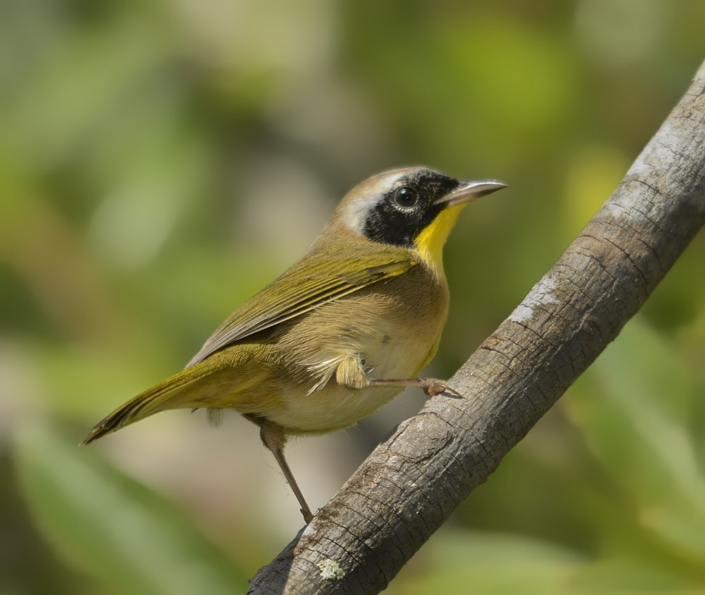 Male common yellowthroat.  Heart Island Conservation Area