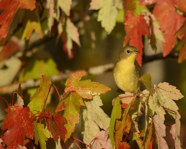 Female common yellowthroat  in red maple.