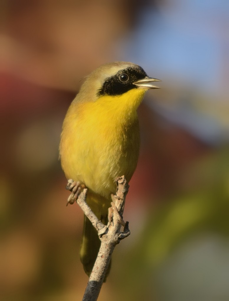 Male common yellowthroat in a red maple swamp.  Lake George State Forest