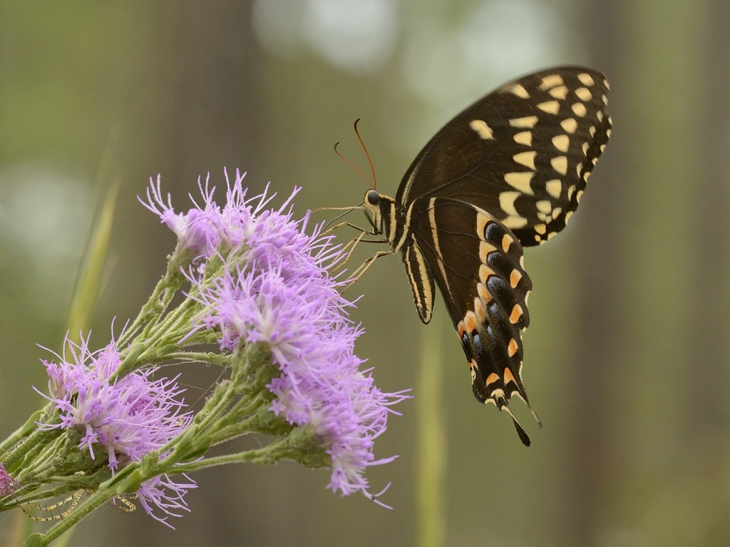 Palamedes swallowtail (Papilio palamedes) at Carphephorus corymbosum.  Heart Island Conservation Area