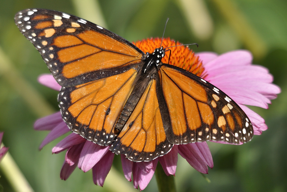 Monarch (Danaus plexippus).  In the traditional explanation, the monarch is the model (unpalatable species) for the viceroy (palatable species) in a Batesian mimicry system