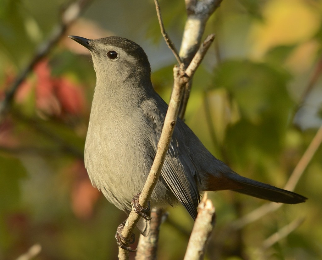 Gray catbird.  Lake George State Forest