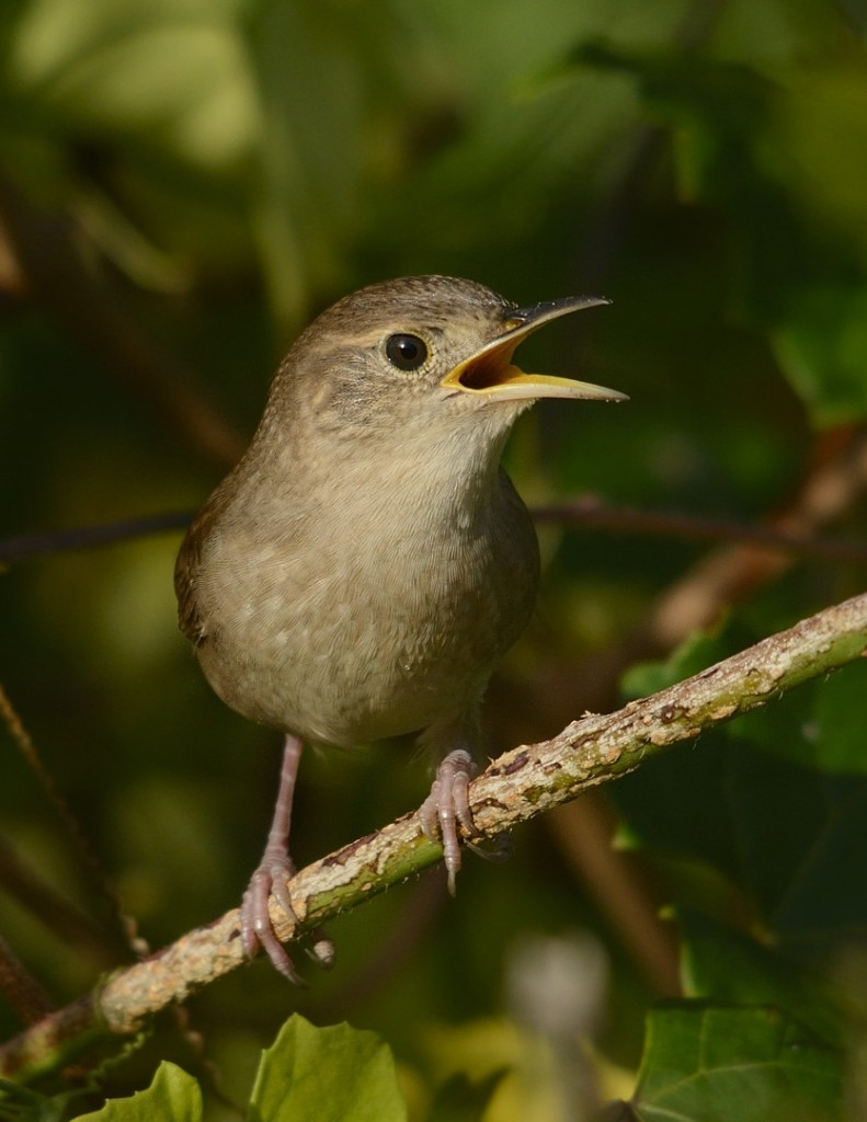 House wren scolding me for no apparent reason.