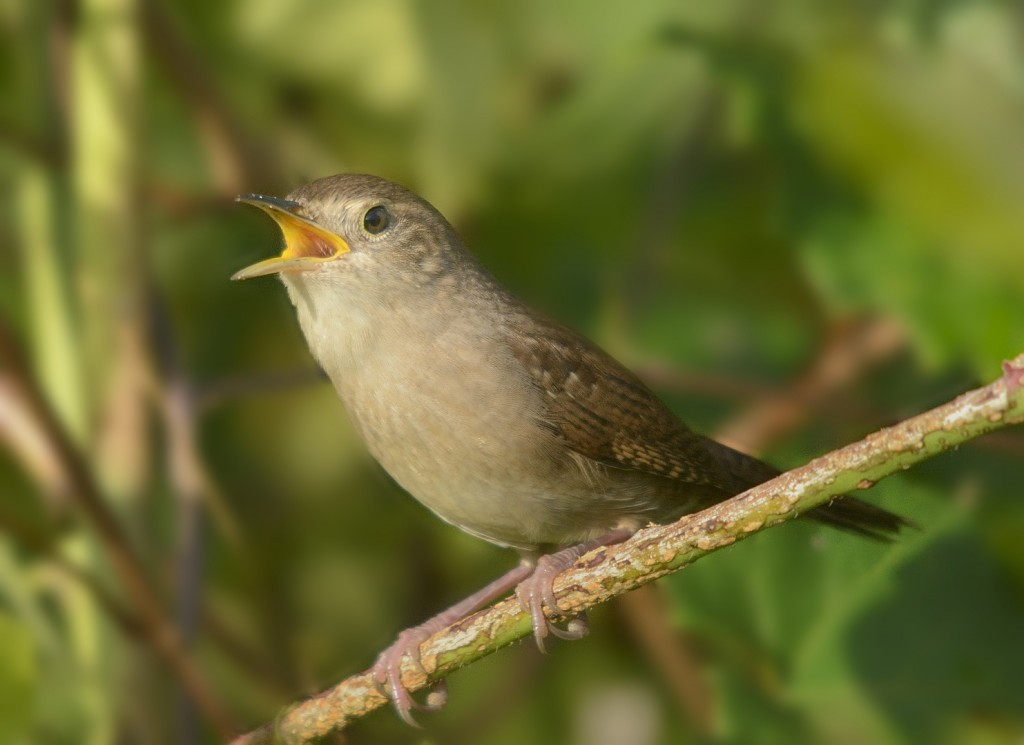 House wrens seem to have a rollicking good time while scolding a potential predator.