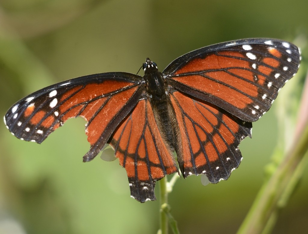 Viceroy with wing damage suggestive of a predator attack.  Notice the symmetrical chunks missing from both hind wings, and the V-shaped pieces missing from the left wings.  Most likely, a predator (bird, lizard?) grabbed the wings while this butterfly had them folded.