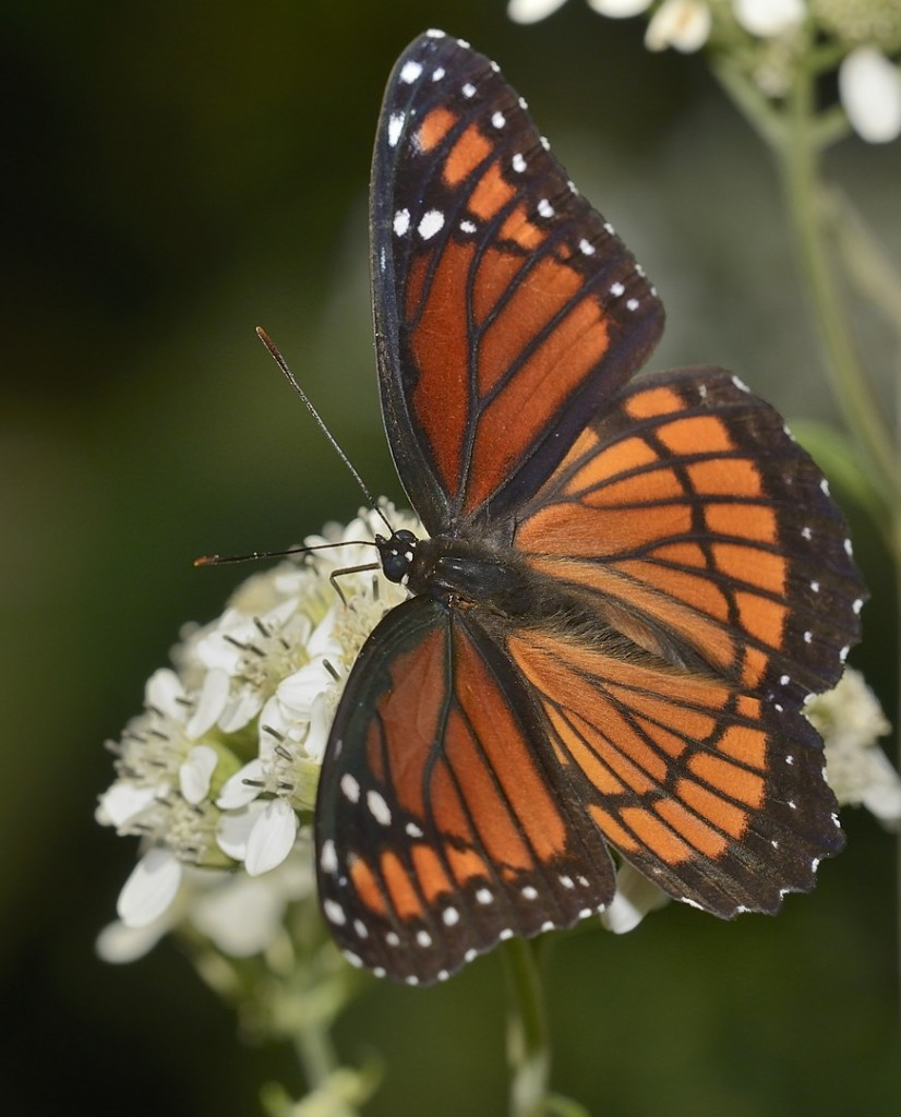 Viceroy at Sericocarpus.  Heart Island Conservation Area