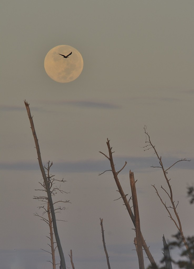 Many birds respond poorly or not at all to playback most of the time. No playback was used in making this shot of a bald eagle at sunrise/moonset.