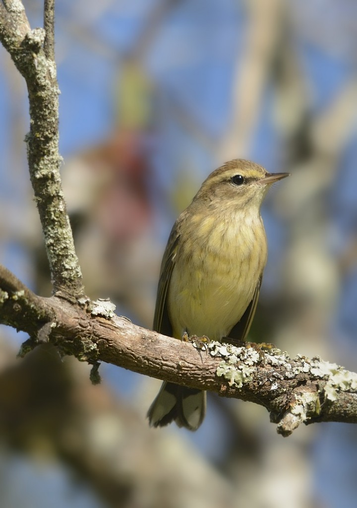 Palm warbler, western subspecies.  Heart Island Conservation Area