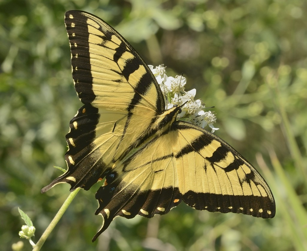 Male tiger swallowtail at Sericocarpus.  Heart Island Conservation Area