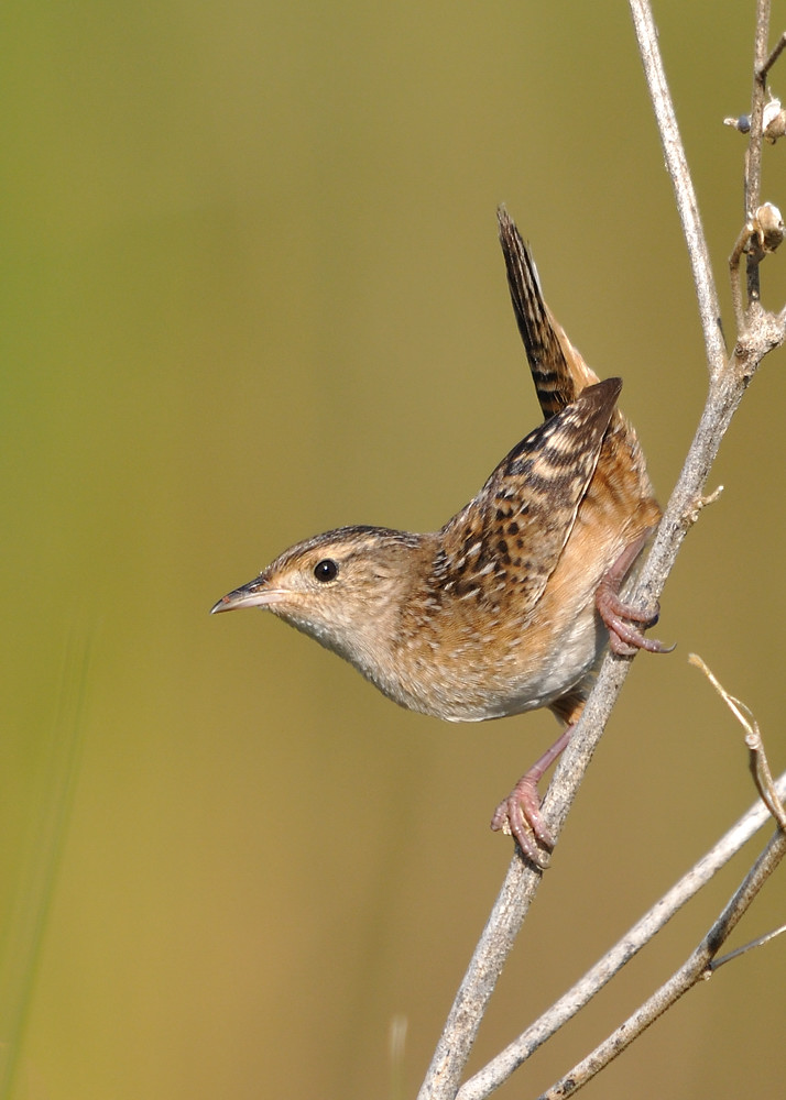 Many (most?) birders use pishing or squeaking noises, which imitate mobbing or alarm calls, to get shy or secretive birds like this sedge wren to pop up and take a quick looksee.