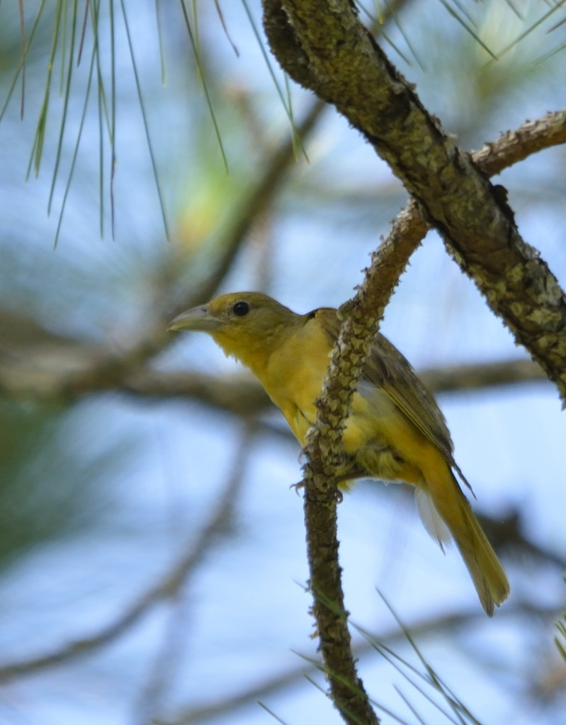 Summer tanager female who responded with her mate on my second encounter.