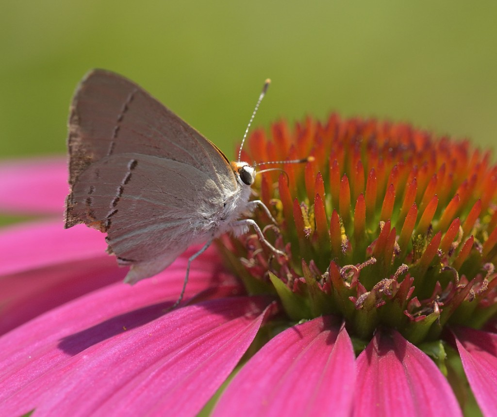 This gray hairstreak shows apparent predator damage to the rear of its hindwings.