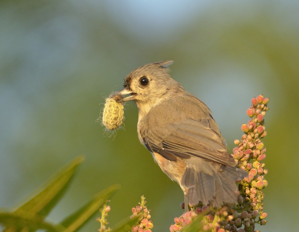 Do birds have to abandon other necessary activities to respond to playback? Not this titmouse, who snagged a big juicy puss-moth caterpillar (Megalopyge sp.) while looking for the predator that wasn't there.