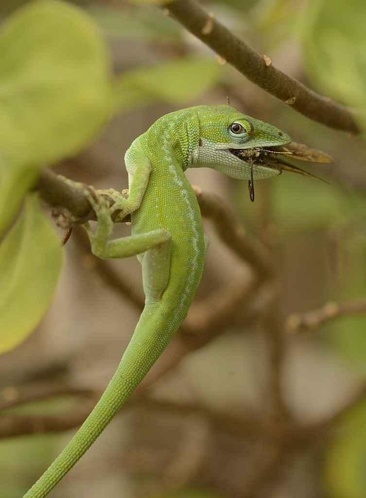 Green anole (Anolis carolinensis) scarfing one of the less happy skippers I saw at Garberia.