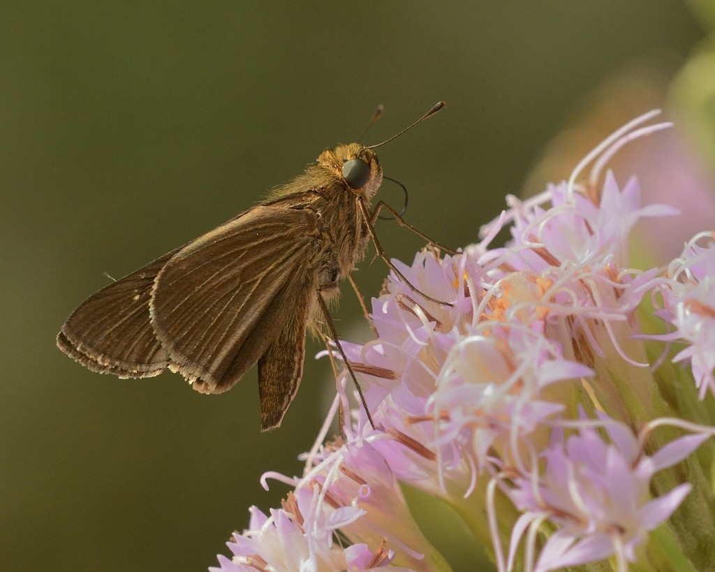 Skipper at Garberia.  This was one of the happier skippers I saw visiting the flowers.