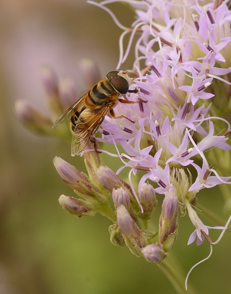 Syrphid fly partaking of the pleasures of the botanical hussy Garberia heterophylla