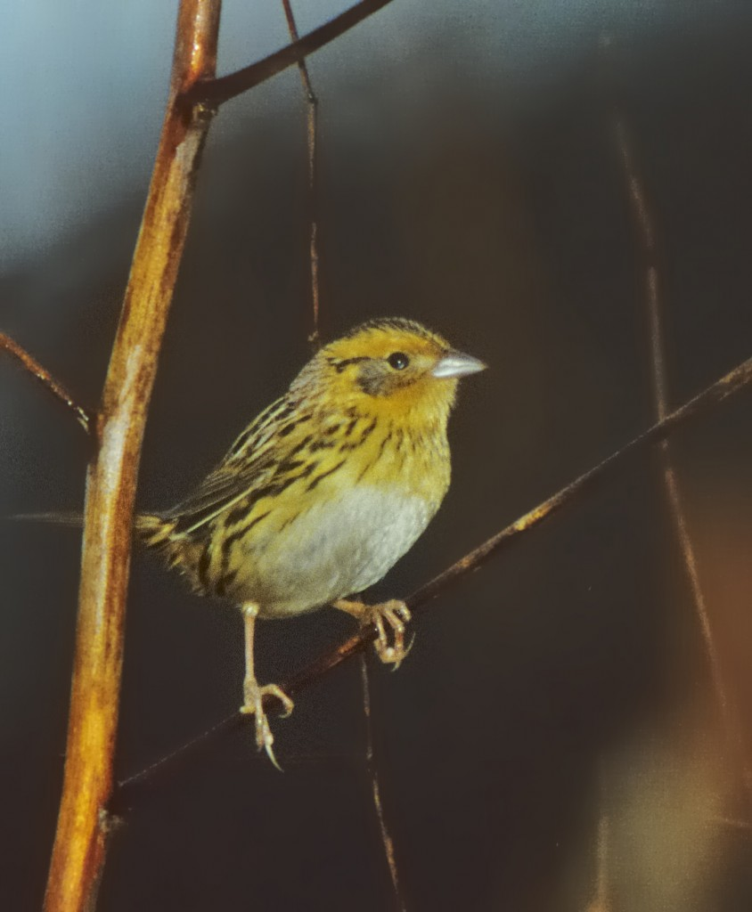 The LeConte's sparrow John Puschock found for me.  Scanned from a badly underexposed slide.
