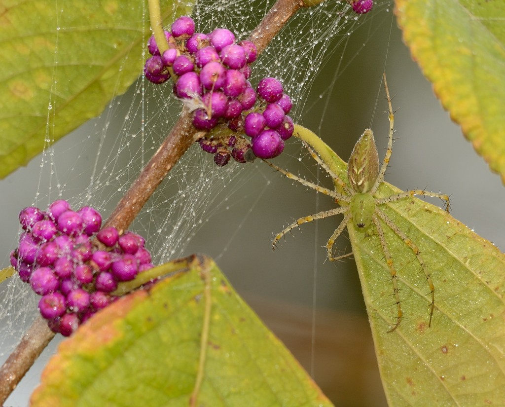 Green lynx spider (Peucetia viridans)  on American beautyberry (Callicarpa americana)