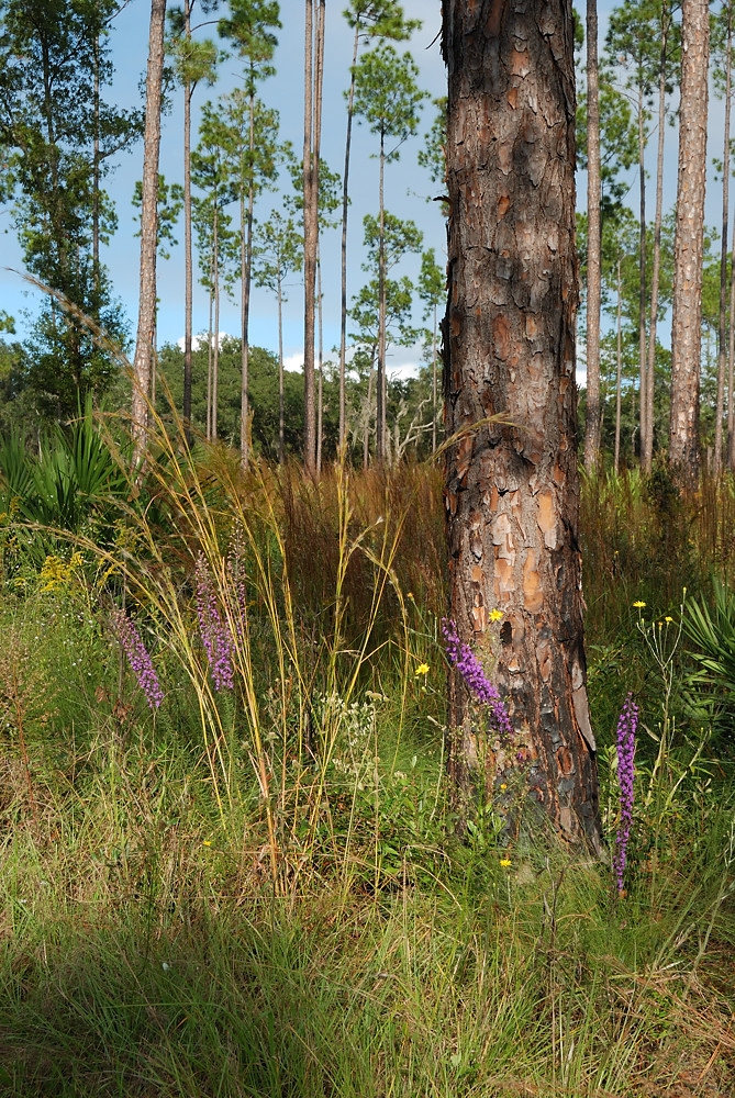 Blazing star (Liatris sp) and Pityopsis blooming in the sandhills restoration plot