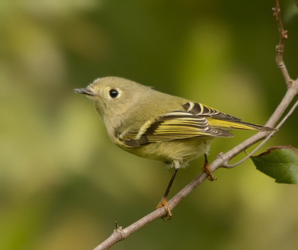 Ruby-crowned kinglet, one of the winter residents that defines the onset of true fall.