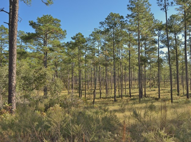Sandhills in the Riverside Island area of Ocala National Forest
