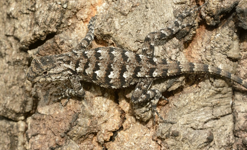 Sceloporus undulatus, the eastern fence lizard.  Members of the genus Sceloporus are fondly called scelops by herpers.