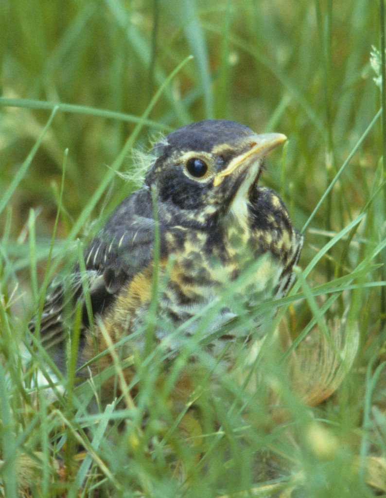Recently fledged American robin.  Scanned from a slide taken in northern Virginia.